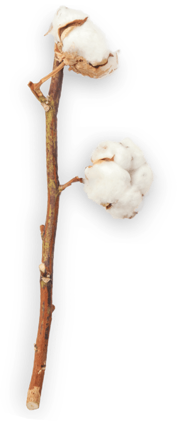 stem cotton